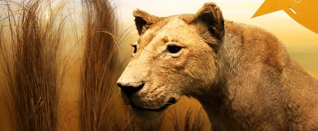 Tierpräparat einer Löwin