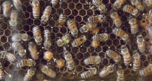 Bienen Naturkundemuseum