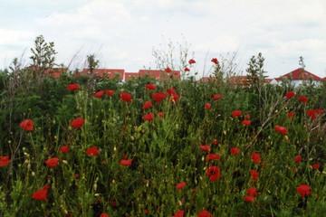 Bild wird vergrößert: Mohnblumen auf dem Schallschutzwall Knautnaundorfer Straße