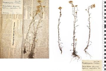 Bild wird vergrößert: Zwei Herbarbögen mit gepressten und getrockneten Pflanzen