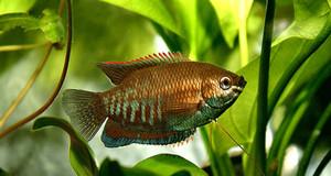 Ein farbenreicher Fisch schwimmt zwischen Grünpflanzen in einem Aquarium.
