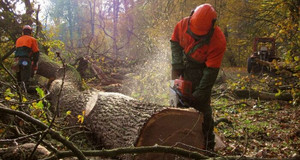 Waldarbeiten beim Zersägen eines Baumes