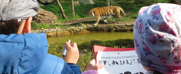 Blick zwischen den Köpfen zweier Kinder hindurch auf einen Tiger, der durchs Gehege läuft