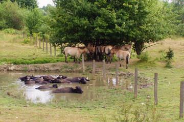 Bild wird vergrößert: Wasserbüffel und Wildpferde
