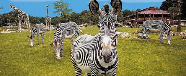 Zebra im Leipziger Zoo