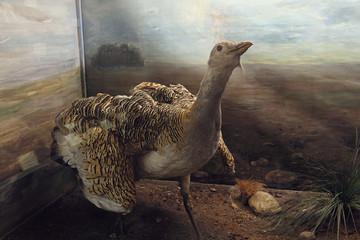 Bild wird vergrößert: Grosstrappe 1 Naturkundemuseum