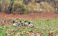 Enten auf eine laubbedeckten Wiese im Hebst