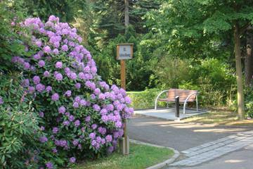 Bild wird vergrößert: Weg in die II. Abteilung des Südfriedhofes neben einem blühenden Rhododendronbusch