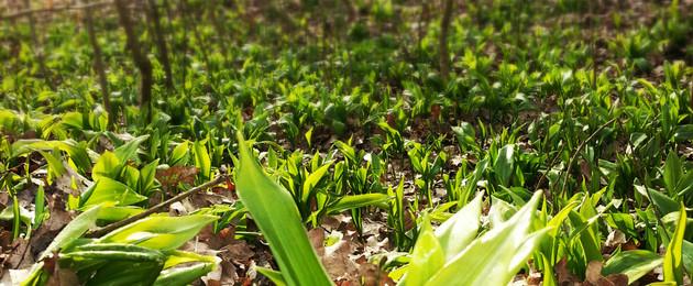 Viele Bärlauchpflanzen bedecken den Boden im Leipziger Auwald