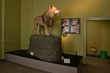 Bild wird vergrößert: Löwe Tamrin Naturkundemuseum