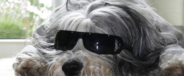 schlafender Hund mit Sonnenbrille