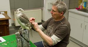 Der Präparator des Naturkundemuseums bearbeitet einen Falken.