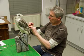 Bild wird vergrößert: Der Präparator des Naturkundemuseums bearbeitet einen Falken.