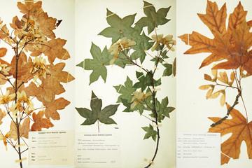 Bild wird vergrößert: Drei Herbarbögen mit gepressten Blättern zeigen verschiedene Ahornarten.