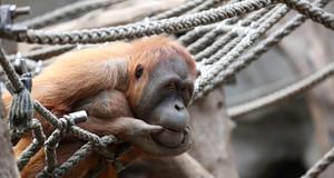 Ein Orang-Utan hockt in einem Netz aus Seilen.