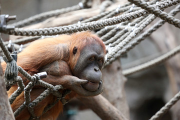 Bild wird vergrößert: Ein Orang-Utan hockt in einem Netz aus Seilen.