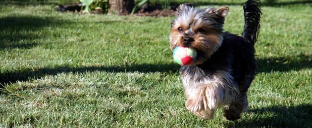Kleiner Hund rennt über Wiese