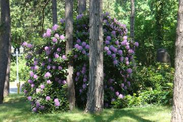 Bild wird vergrößert: Rhododendrenblüte auf dem Südfriedhof