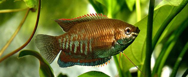 Fisch in einem Aquarium