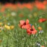 Nahaufnahme von Mohnblüten in einer Blumenwiese