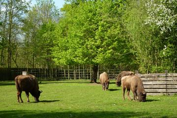 Bild wird vergrößert: Wisente im Wildpark