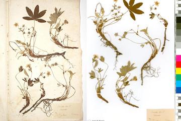 Bild wird vergrößert: Zwei Herbarbögen mit gepressten und getrocknenen Pflanzenteilen