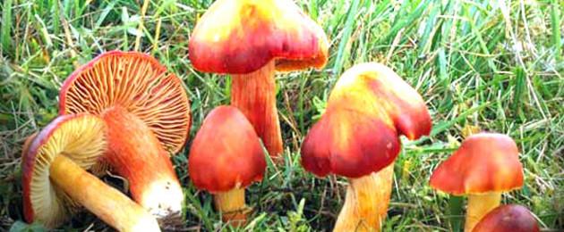 Pilze auf einer Wiese