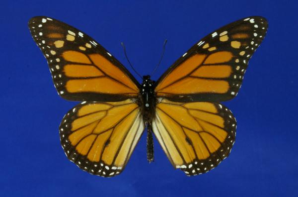 Schmetterling Monarchfalter