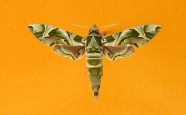 Schmetterling Orleander Schwärmer