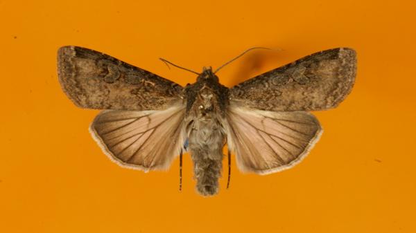 Schmetterling Saateule