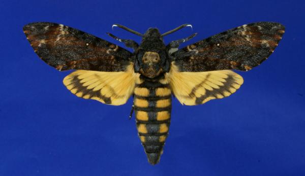Schmetterling Totenkopfschwärmer