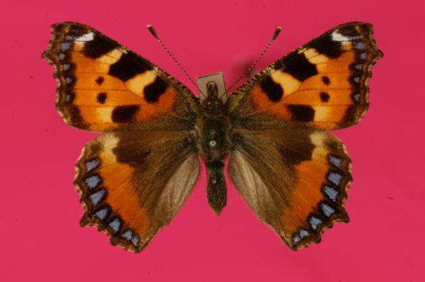 Schmetterling Kleiner Fuchs