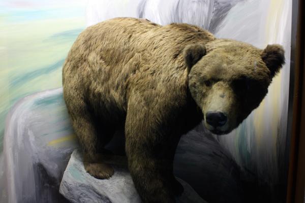 Präparat eines Bären im Naturkundemuseum