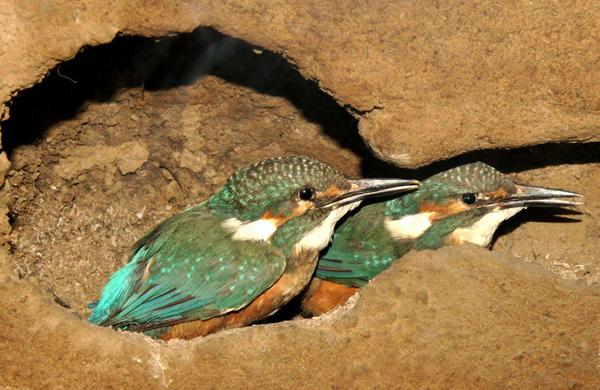 Eisvögelpräparate in einer nachgebildeten Bruthöhle im Naturkundemuseum