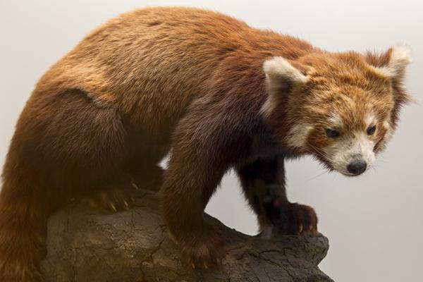 Präparat eines Roten Pandas