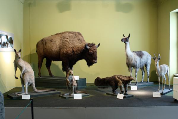 verschiedene Tierpräparate in einem Ausstellungsraum des Naturkundemuseums
