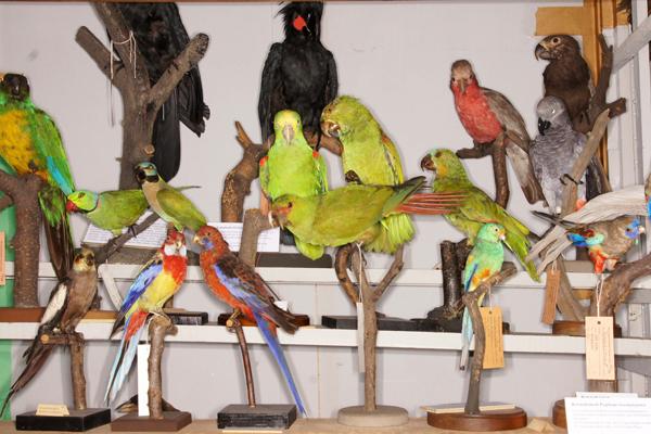 Vögel-Präparate im Naturkundemuseum